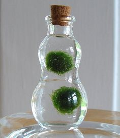 "Japanese Marimo moss. ""These delightful little balls of algae also called Cladophora originate in Lake Akan Japan. They are revered and adopted as ""pets"" in Japanese homes and offices and are believed to bring good luck."" ""They require very little care, just place in indirect light, and change the water out every two weeks."""