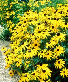 Gele zonnehoed | Planten | Bakker Hillegom