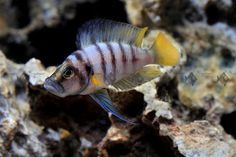 Colorful Fish, Tropical Fish, Victoria Lake, Cichlid Fish, Lake Tanganyika, Live Aquarium Fish, Fishing World, Fish Stock, Live Fish
