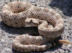 """The Sidewinder Rattlesnake is found in North American deserts and is named after the way in which it moves from place to place. Sidewinders move in a sideways motion. This is achieved by launching the middle of their long body to one side, then the head and tail follow that direction.    They are also known as """"horned"""" rattlesnakes as the scales above their eyes rise up resembling horns. These scales help protect their eyes from sand. Their eyes have vertical irises like cats."""