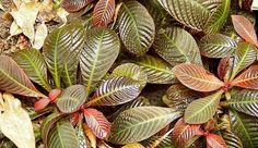 Hoffmannia is a genus of evergreen foliage plants from tropical climates of South and Central America. These medium and low growing plants are known for their lovely foliage which makes them a good choice for landscapes as well as container gardening.
