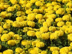 african marigold flower garden