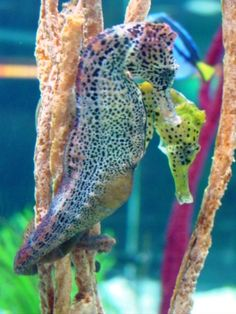 "Beautiful Colors ""The fathers take care of the babies with seahorses.  And the mom finds the food."""