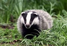 CRAIG BROWN: Badgers have hit the headlines after a new book, Sinking In The Swamp, revealed President Trump has an unexpected obsession with these shy nocturnal creatures. Otter, Gregg Wallace, British Wildlife, All Gods Creatures, Woodland Creatures, Classic Leather, Creature Design, Predator, Animaux