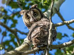 Photo: Long-eared owl looks caught in the act