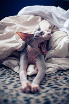 Sphynx Cat http://stores.ebay.es/VIP-EROTICSTORE?_rdc=1