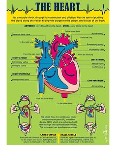 The Heart!! 💙❤️ [BIOLOGY] Do you know how the heart works and in how many parts is it divided? . . Infographic for kids 👉 follow us to see… Body Tissues, Biology, Infographics, Heart, Kids, Young Children, Boys, Info Graphics, Children