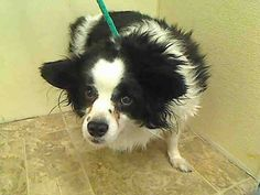SAFE 3/25/15 --- Manhattan Center    PEAR - A1030736    NEUTERED MALE, BLACK / WHITE, PAPILLON / SHETLD SHEEPDOG, 6 yrs  STRAY - STRAY WAIT, NO HOLD Reason STRAY   Intake condition UNSPECIFIE Intake Date 03/18/2015 https://www.facebook.com/photo.php?fbid=981386221874257