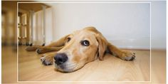Just like humans, dogs experience anxiety too. There are several factors that affect a dog's outlook, usually as a result of fear or a traumatic experience. #dogexpress #dognxietysymptoms #anxietyindogs