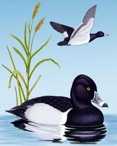Ring-necked Duck - Whatbird.com