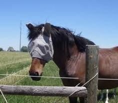 Horses with eyes, ears, and muzzle dotted with flies.  Horses twitching and shaking their heads to get them off.  We can use fly masks. But do we want to cover those beautiful faces! Well here is your answer! AVON SKIN-SO-SOFT!  Used straight out of the bottle it keeps the flies off and gives your horses coat a beautiful sheen and it smells good too.   Diluted 50/50 with water works great for whole body protection. Helps with tangled manes and tails.   buy SSS at www.youravon.com/mrsbtfuller