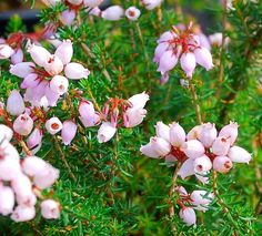 fynbos erica species - Google Search Drought Resistant Plants, Knysna, Water Wise, Miniture Things, Native Plants, Shade Garden, Trees To Plant, Painting Inspiration, Succulents