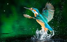 Ultra HD kingfisher water 1920×1200