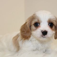 Sadie is a Female Cavapoo puppy for sale at PuppySpot. Call us today to learn more (reference 626823 when you call). Cavapoo Puppies For Sale, Tiny Puppies, Puppy Facts, Puppy Finder, Puppy Mills, Ready To Play, When I Grow Up, Always Love You, Meeting New People