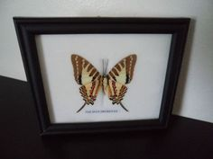 Real Butterfly Framed Display Spot Swordtail by amazinginsects