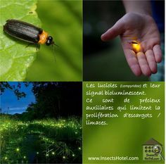 #Lucioles #insectes #InsectHotel #insecte #nature #biologie #animal #animaux #faune www.InsectsHotel.com