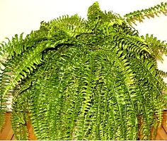 Nephrolepis exaltata - Wikipedia, the free encyclopedia  REDUCES CHEMICALS