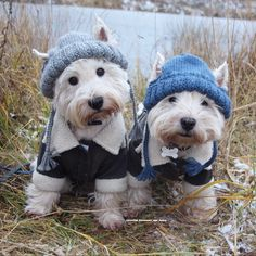 The 'Westies' Boatsman and Henry come to the pond everyday, hoping to see beavers, hoping to take a picture with them