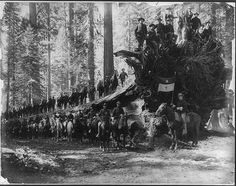 The fallen monarch, surrounded by Co. F, 6th Cavalry U.S.A., Mariposa big tree grove, Yosemite Valley National Park, Calif.   c1900.