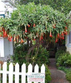 Brugmansia sanguinea - can keep in pot http://yaminacollectorsnursery.com.au/product/brugmansia-sanguinea/