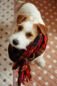 Jack Russell in a scarf. Too much cuteness! Gah! <3