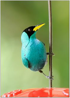 This lovely bird is a male Green Honeycreeper. Honeycreepers are small members of the Tanager family, almost all brightly coloured. They fee...