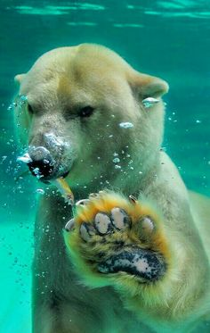 Say Hello, by Ryu Jong Soung. Polar bears have built-in socks. Stiff fur on the sole of each foot keeps the polar bear from slipping on ice, and also muffles the sound of the bear's approach when sneaking up on a meal. Nature Animals, Animals And Pets, Strange Animals, Wild Animals, Beautiful Creatures, Animals Beautiful, Cute Baby Animals, Funny Animals, Photo Animaliere