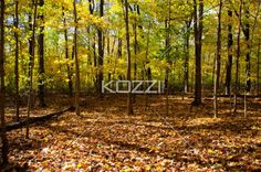 image of autumn trees. - Image of forest with autumn trees.