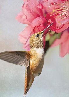 Hummingbird at Cherry Blossom by Susan Gary
