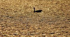 On Golden Pond - Puslinch Ontario Canada #art #photography #goose #sunset #pond