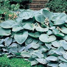 I LOVE these big hosta plants! Garden Landscape Design, Planting Flowers, Plants, Shade Perennials, Perennials, Dream Garden, Shade Plants, Blue Garden, Landscaping Plants
