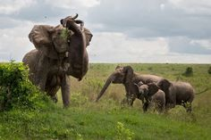 Elephant throw 1100 pound buffalo in the air like it's nothing (photographer Kim Maurer)