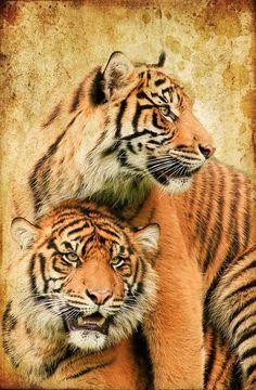 Tigers Photograph by Steve McKinzie