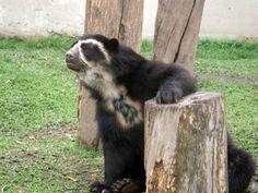 Urso de óculos. São animais de hábitos noturnos, alimenta-se  de plantas da família das bromélias, frutos variados, palmitos, bambu e milho, além de,  insetos e pequenos roedores. São ótimos escaladores, e com frequência escalam grandes árvores em busca de frutos. Uma vez em cima destas, são capazes de fazer largas plataformas, utilizando-se de galhos quebrados, e as usam como locais de alimentação. Pesquisadores, no Peru, já encontraram uma dessas plataformas que media em torno de 15…