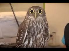 World's most shocked owl goes viral after hilarious TV appearance which stunned the audience | Fountain Facts