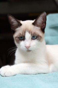 110 best snowshoe cat images  beautiful cats fluffy