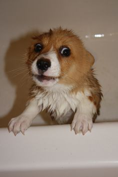 Did you know that corgis turn into gremlins when you get them wet?