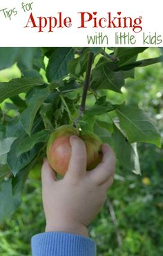 Tips to make the most from your apple picking trip with toddlers and preschoolers
