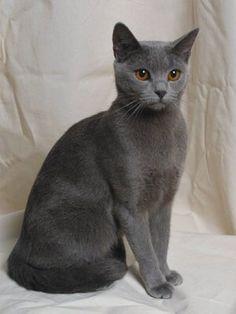 The Chartreux cat. Graceful.