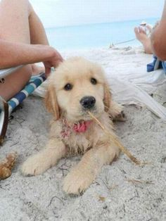 a golden at the beach!