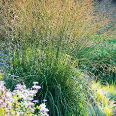 Get to Know Molinia—Trial Results - FineGardening Fine Gardening, Organic Gardening, Amazing Gardens, Beautiful Gardens, Spring Flowering Trees, Privacy Plants, Chicago Botanic Garden, Garden Plants, Garden Grass