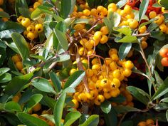 Pyracantha Soleil d'Or - beautiful! #GardeningExpress Evergreen, Shrubs, Fruit, World, Plants, Beautiful, Planters, Plant, Planting