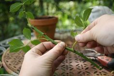 18 ideas para decorar patios y jardines Planter Rosier, Rose Cuttings, Comment Planter, Garden Online, Ikebana, Garden Design, Planters, Herbs, Flowers