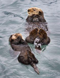 Sea otters, Kenai Fjords National Park, Alaska.