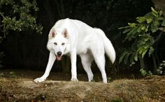 Northern Inuit Dog - The Wolf - Like Dog | Dog Breed Guide