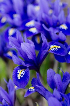 Vivid Blue Iris Flowers