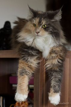 Gorgeous Maine Coon Cat ♥ http://www.mainecoonguide.com/what-is-the-average-maine-coon-lifespan/