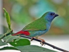 The Tricoloured Parrotfinch (Erythrura tricolor) is a species of estrildid finch found in Indonesia and East Timor.