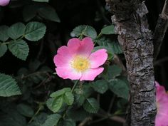 Dog rose.