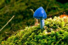 Entoloma hochstetteri This lovely blue mushroom is found in New Zealand and India. Though possibly poisonous, its beauty has been recognized by it being part of a set of fungal stamps issued in New Zealand in 2002 as well as put on the back of a $50 bank note in New Zealand in 1990.